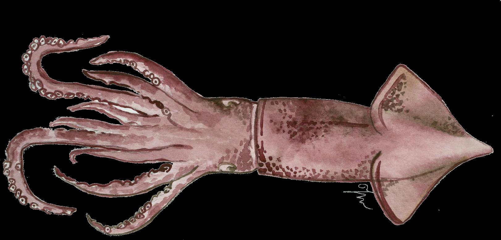 Canana. Todarodes sagittatus.